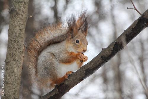 Staande foto Eekhoorn squirrel