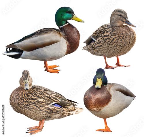 four standing mallard ducks isolated on white