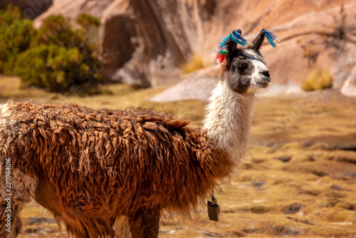 Portrait of a llama looking in Bolivia, South America