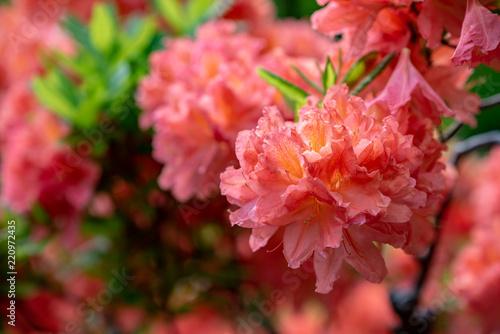 Tuinposter Azalea レンゲツツジの花