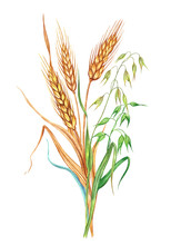 Wheat And Oats. Bunch Of Wheat And Oats, Watercolor Drawing On White Background, Isolated.