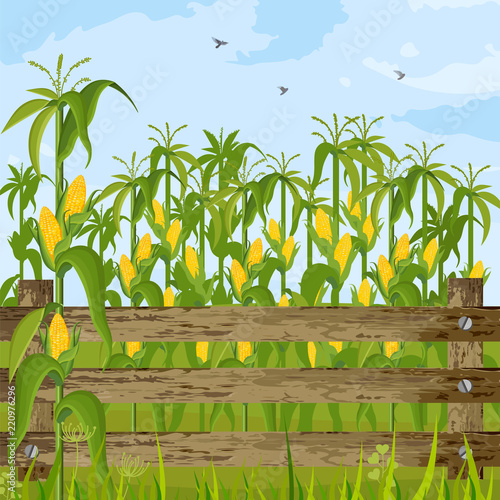 Fotografering Corn field growing Vector. Maize background summer seasons