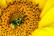 Big Bumblebee Pollinating A Sunflower In Summer Day