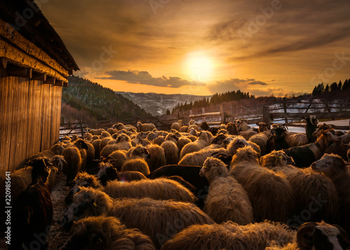Sheep herd at sunset in Romania