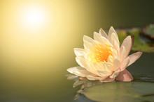 Pink Lotus Flower In Pond.