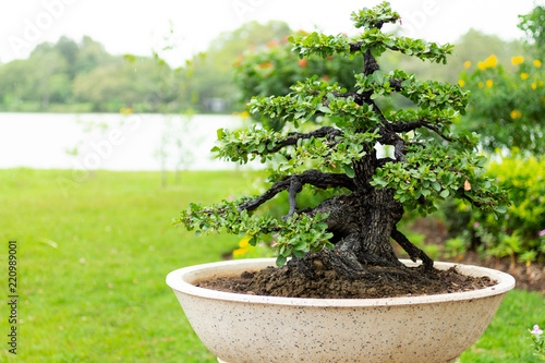Bonsai tree in the garden, image use for planted to decorate.