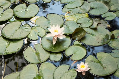 Foto  water lilies pink flowers, beautiful water lilies