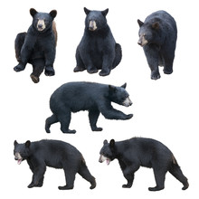 Black Bear Collection On White...