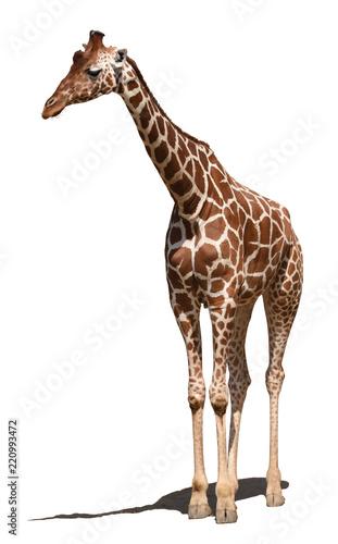 Siatkowa żyrafa (Giraffa camelopardalis reticulata)