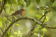 Robin in orchard