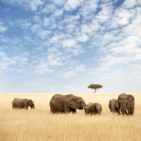 Fototapeta Sawanna - Elephant group in the grassland of the Masai Mara