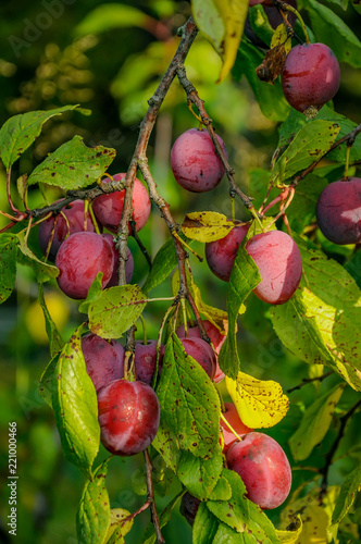 Branch with ripe red plums in the suburban area.