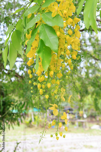 In de dag Begraafplaats Golden Shower flower or known as the golden rain tree, canafistula and this is the national tree of Thailand