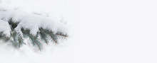 Snow Covered Spruce Branch. Be...