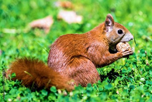 Ein Eichhörnchen mit einer Walnuss