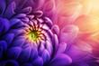 Leinwandbild Motiv Colorful chrysanthemum flower macro shot. Chrysanthemum yellow, red, purple color flower background.