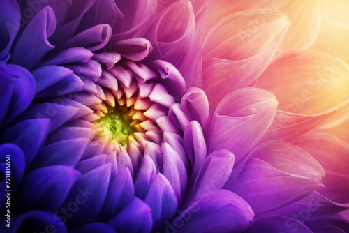Colorful chrysanthemum flower macro shot. Chrysanthemum yellow, red, purple color flower background. - 221005658