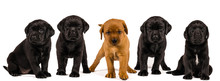 Banner With Black And Blonde Labrador Retriever Puppy's  Isolated On White Background