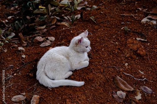 Photo Gato branco com orelhas doentes por fungos
