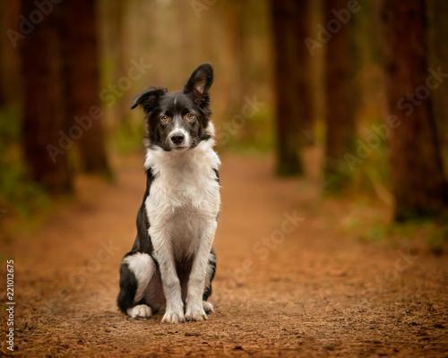 Fotografie, Tablou Black and White Border Collie Puppy Portrait in Woodland