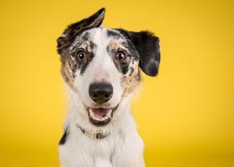 Fototapeta Pies Happy Merle Crossbreed Collie Dog Portrait on Yellow Studio Background