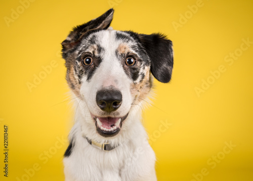 Photographie  Happy Merle Crossbreed Collie Dog Portrait on Yellow Studio Background