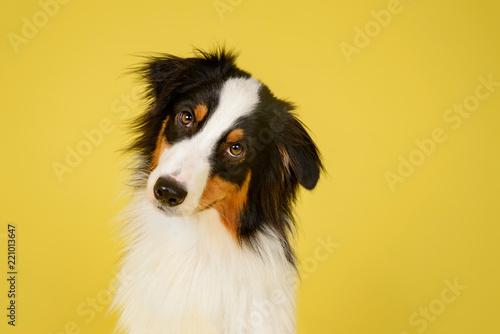 Leinwand Poster  Happy Australian Shepherd Dog Portrait on Yellow Studio Background