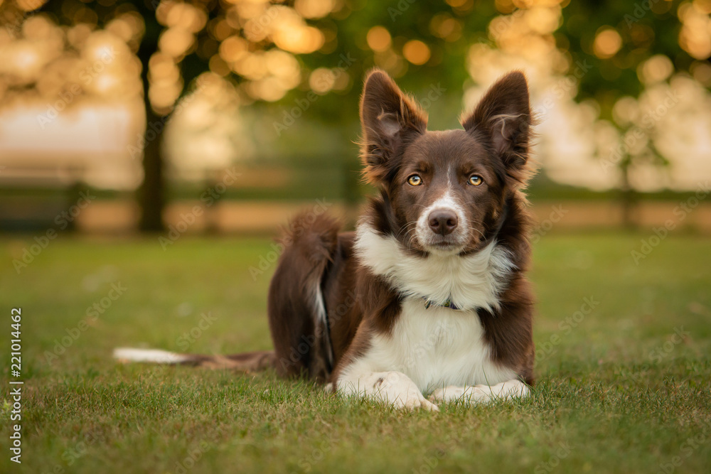 Fototapety, obrazy: Black and White Border Collie Outdoor in Countryside