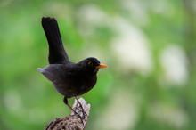 Closeup Of A Male Blackbird On A Soft Green Background