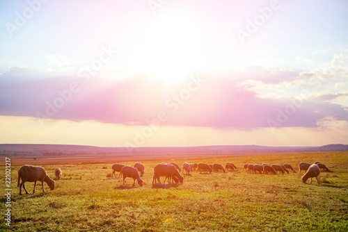 Flock of sheep grazing on meadow at sunset