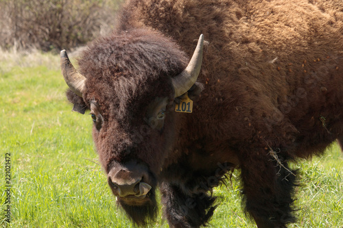 American buffalo, bison liking his lips staring at the camera