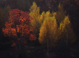 Fototapeta Brzoza Autumn trees at Rhodope mountain range