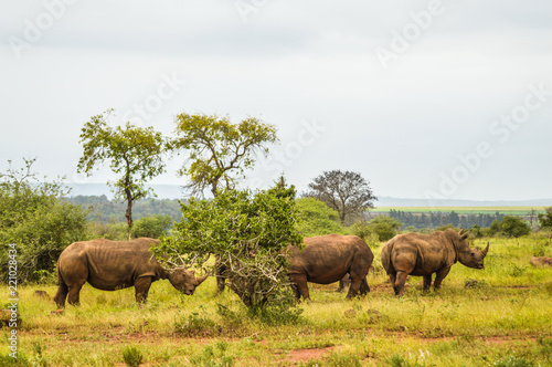 Fotografia, Obraz  A big family of White Rhino in Kruger during our stay in marloth park