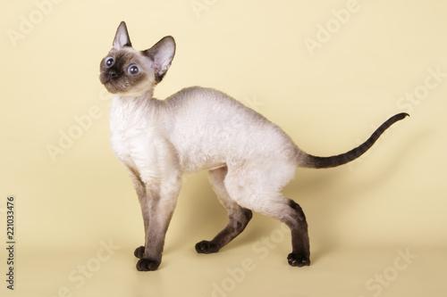 Obraz na plátně Siamese cat on colored backgrounds