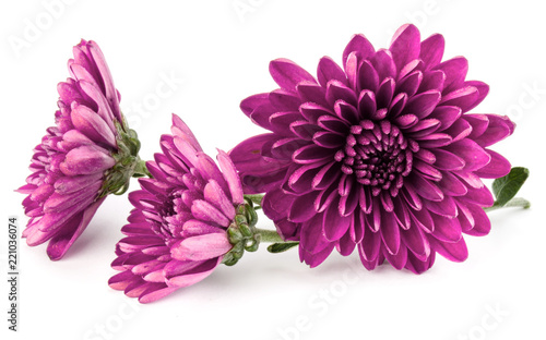 Lilac chrysanthemum flower isolated on white background Wallpaper Mural