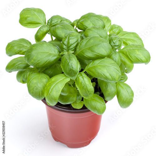 Carta da parati Fresh sweet Genovese basil herbs growing in pot isolated on white background cutout