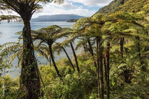Fotobehang Oceanië tropical rainforest with black tree ferns at lake Tarawera, New Zealand