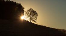 Sunrise Between Oak Trees At C...