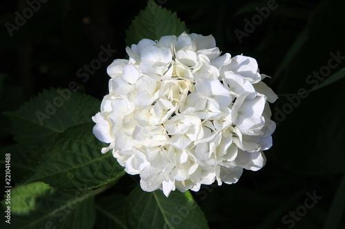 純白のアジサイ(愛媛県)