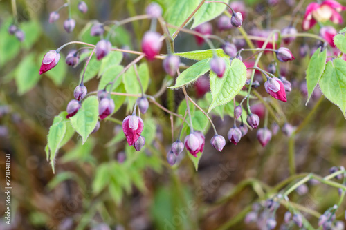 фотография  purple barrenwort (epimedium) flourishing in the garden