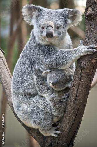 Fototapeta premium koala z joeyem