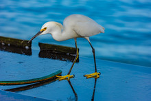Snowy Egret Standing On Fish C...