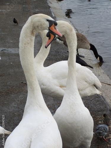 Foto op Aluminium Zwaan Swan Heart Portrait