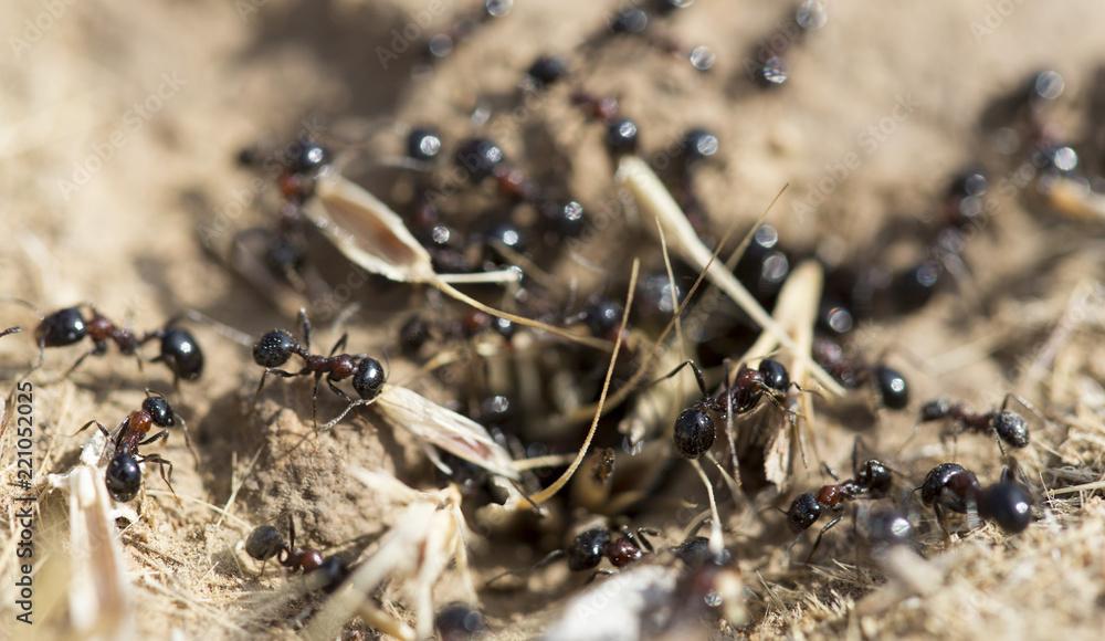 Fototapeta Black ants on the ground