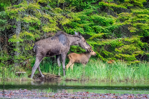 Fotografie, Obraz A mother and a young moose calf walking along the edge of a lake in the early morning