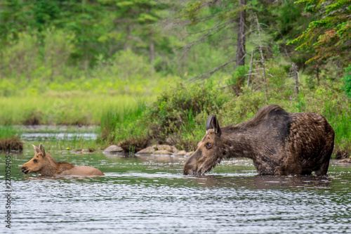Obraz na plátně A mother moose cow and a young moose calf venturing into the lake in the early morning