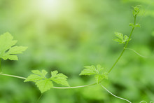 Green Leaves And Bright In Sunlight