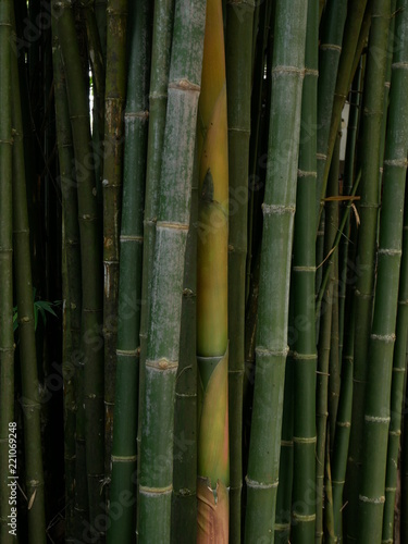 Foto op Plexiglas Bamboe green bamboo nature background