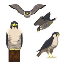 Bird Peregrine Cartoon Vector Illustration