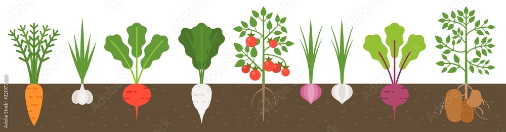 Fototapety, obrazy: vegetable with root in soil texture, flat design